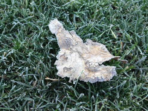 Frost crusts everything, making even these few remaining dead leaves look like they're sugared.