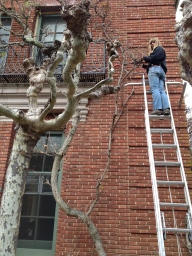 One of the gardeners meticulously grooming the wisteria vine.