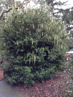Garrya elliptica hedge near the visitor center.