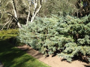 Ever wonder if it's possible for juniper to look good? Here's how: Layered pruning.
