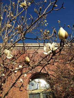 Magnolia denudata, Yulan magnolia