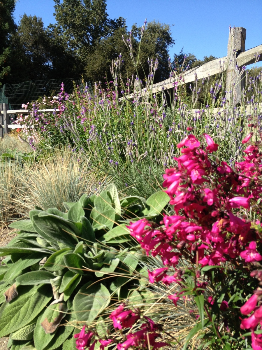 This perennial border includes grasses, lavender, lamb's ear, and bright magenta penstemon.
