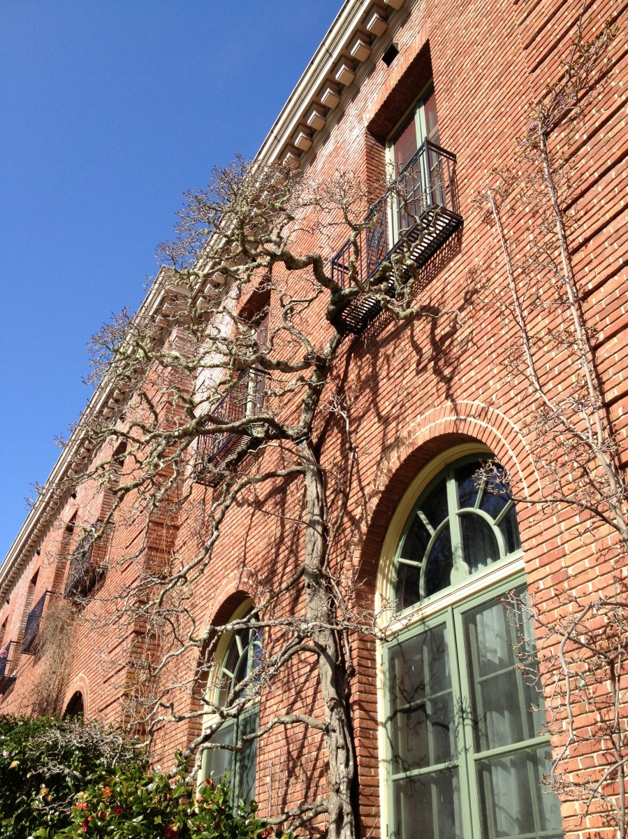 A number of the wisteria vines trained to the house date to when the Filoli gardens were first planted, around 100 years ago.