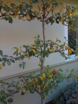 An espaliered apple allows the homeowners to take advantage of every inch of side yard space to grow food.