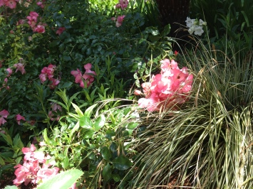 Coral carpet roses with variegated sedge and penstemon, impeccably maintained after six years.
